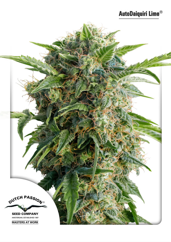 AutoDaiquiri Lime Feminized