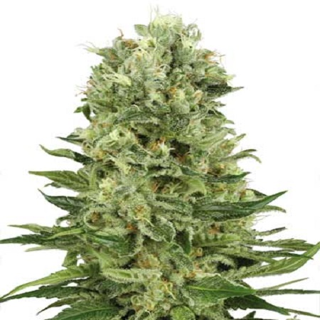 Auto Skunk #1 Feminized Marijuana Seeds