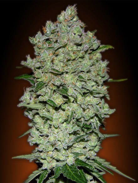 Auto Biodiesel Mass Feminized Marijuana Seeds