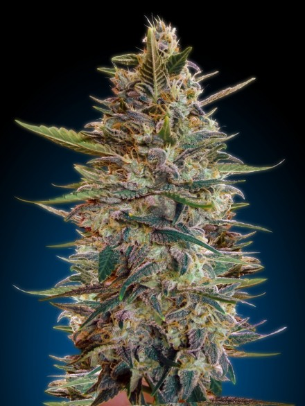 Auto Bluediesel Feminized Marijuana Seeds