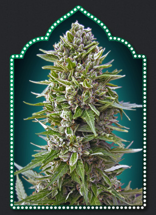 Auto Northern Lights Feminized Marijuana Seeds