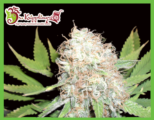 Bud Bud Bling Tingz Feminized Marijuana Seeds