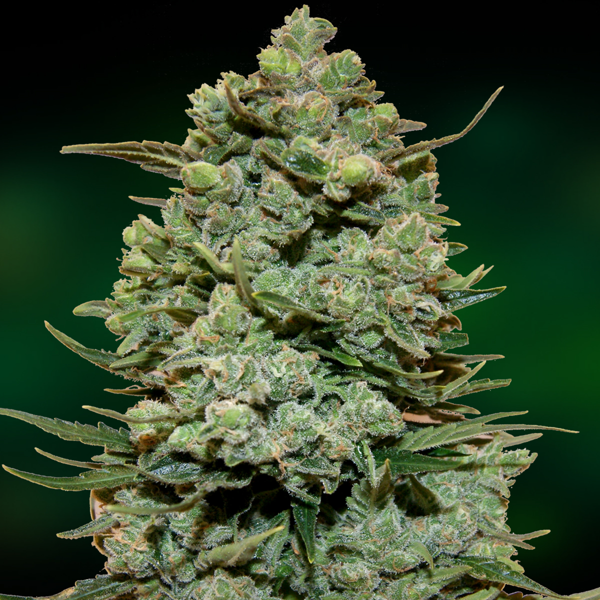 Cookies Kush Feminized Marijuana Seeds