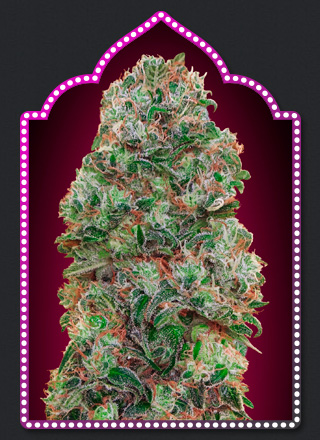Bubble Gum Feminized Marijuana Seeds