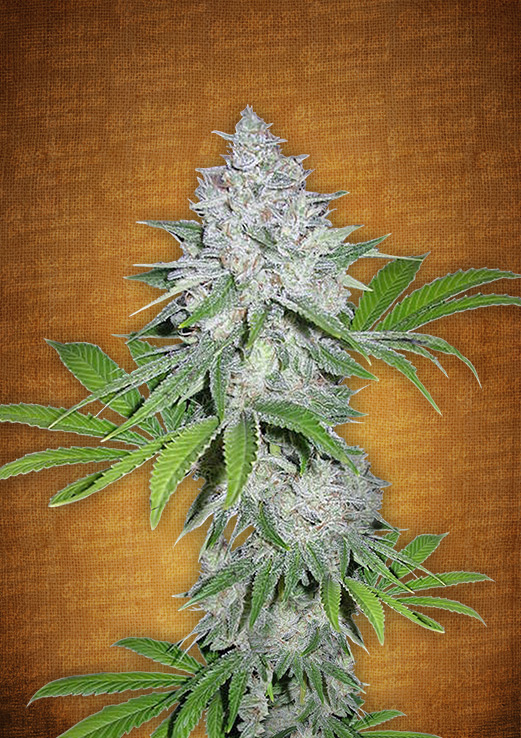 Californian Snow Autoflowering Feminized Marijuana Seeds