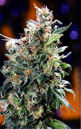 Californian Orange Feminized Marijuana Seeds