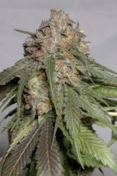 Blueberry Headband Feminised