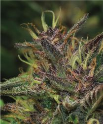 Blueberry Muffin Feminised Seeds