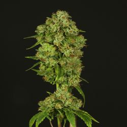 Casey Jones Feminised Seeds