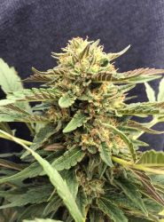 Therapy CBD Feminised Seeds - 5