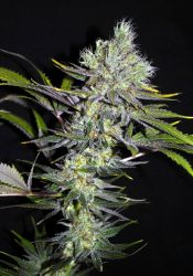 Sweet 'n Sour Widow CBD Regular Seeds - 5
