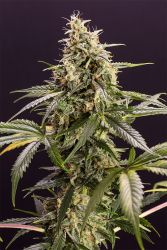 Chem-Bomb Auto Feminised Seeds