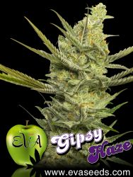 Gipsy Haze Feminised Seeds