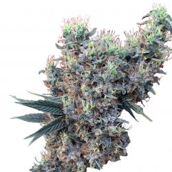 Golden Tiger x Panama Feminised Seeds (Limited Edition) - 5