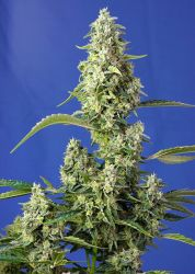 Gorilla Girl XL Auto Feminised Seeds