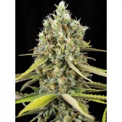 Lemon King Feminised Seeds