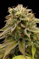 Lemon Thai Kush Regular Seeds
