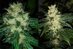 Sour P Feminised Seeds