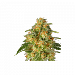TNT Trichome Feminised Seeds - 8