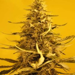 White Widow Auto Feminised Seeds - 5