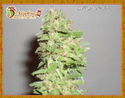 Dizzy Lights Auto Feminized Marijuana Seeds