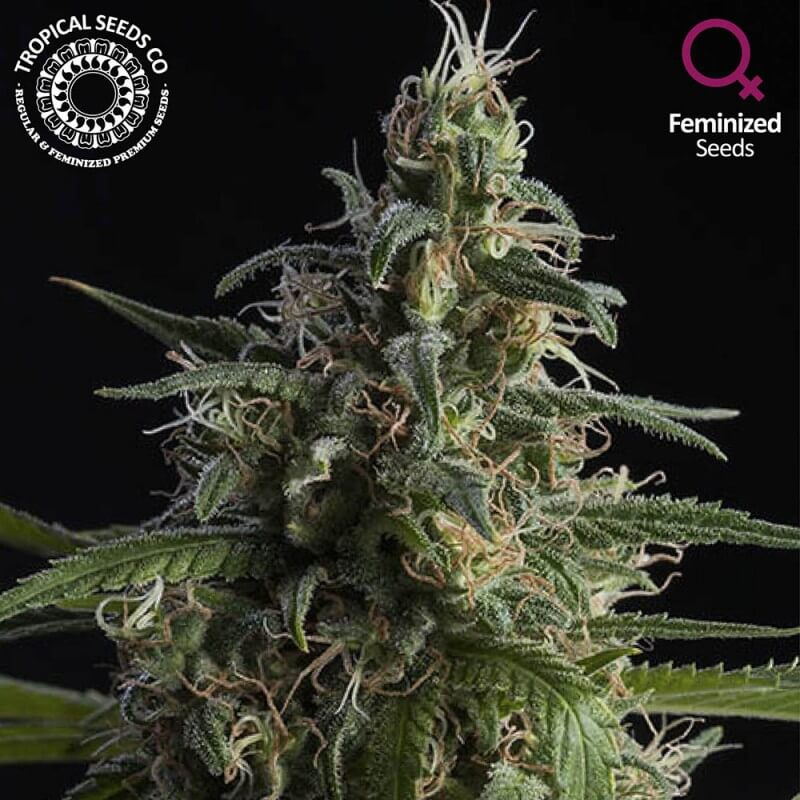 Tropical Seeds - Durand's Herald Kush (Limited Edition)