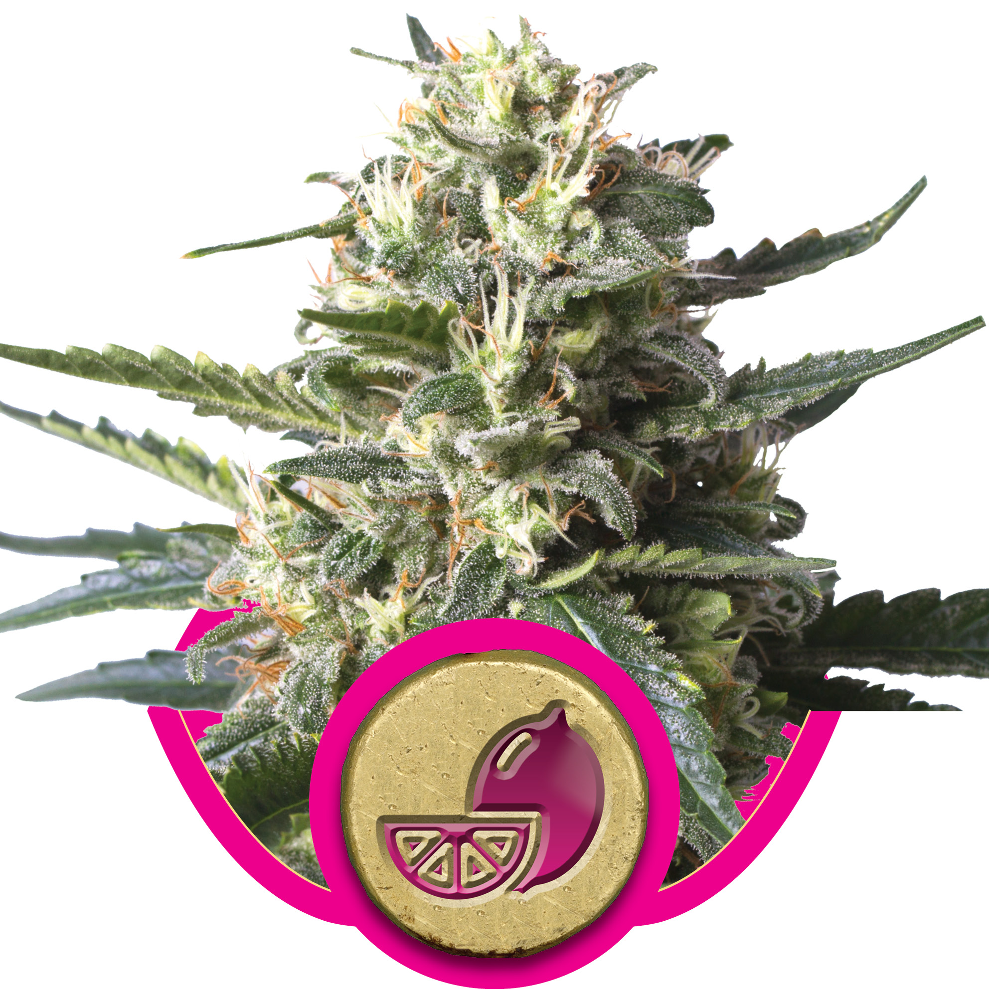 Lemon Shinning Silver Haze (former Lemon Haze) Feminized Marijuana Seeds