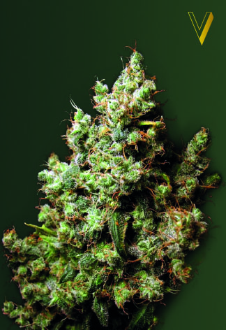 Northern Light Feminized Marijuana Seeds