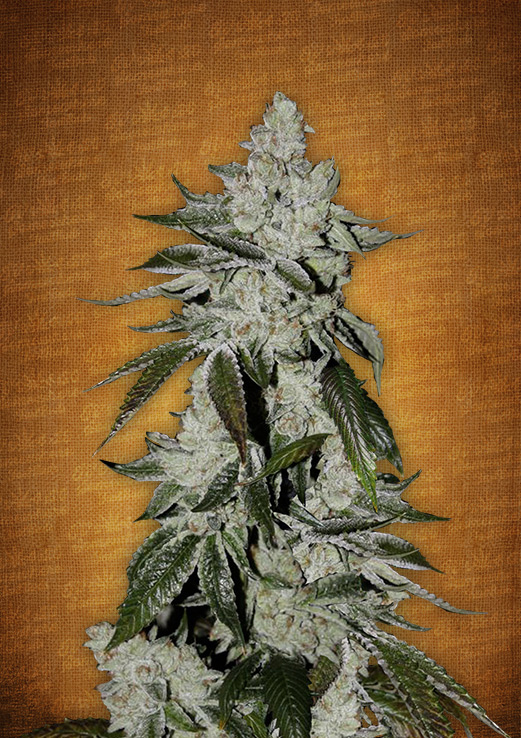 Girl Scout Cookies Autoflowering Feminized Marijuana Seeds