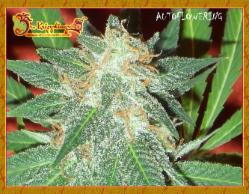 Jumping Black Dash Auto Feminized Marijuana Seeds