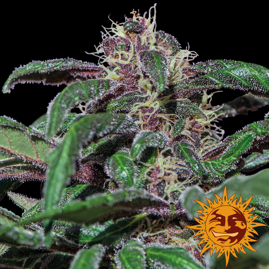 Ayahuasca Purple Feminized Marijuana Seeds