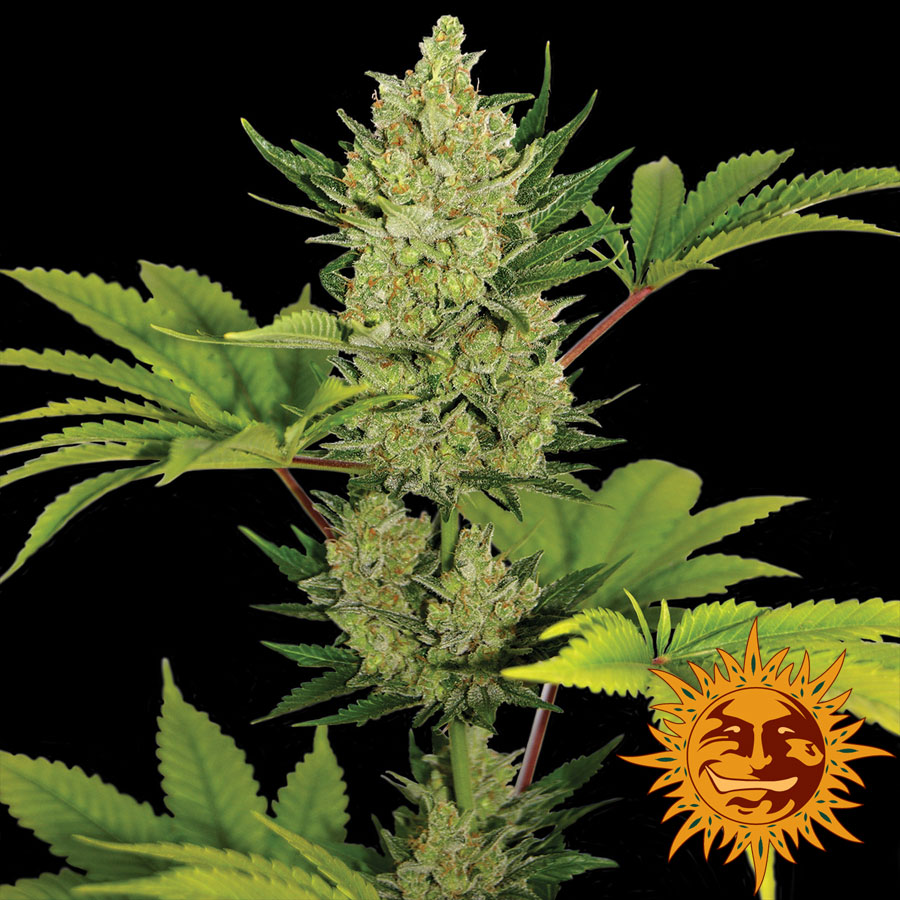 Blue Cheese Auto Feminized Marijuana Seeds