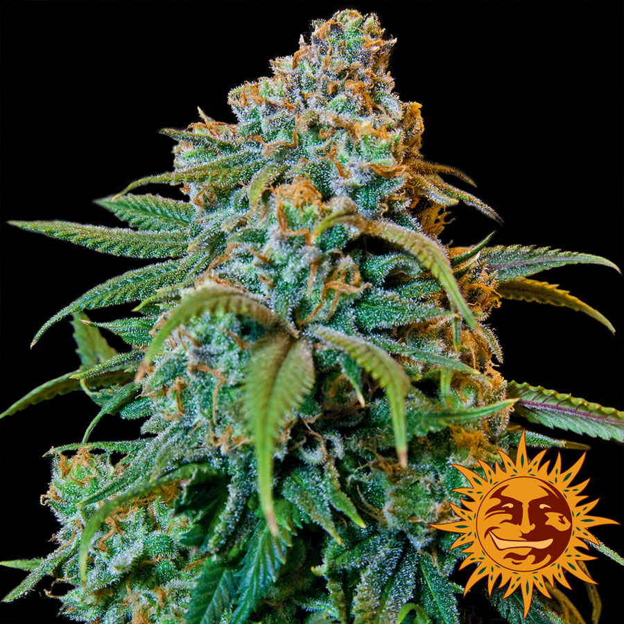 Liberty Haze Feminized Marijuana Seeds