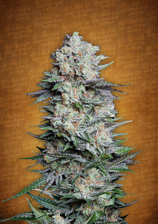 Mexican Airlines Autoflowering Feminized Marijuana Seeds