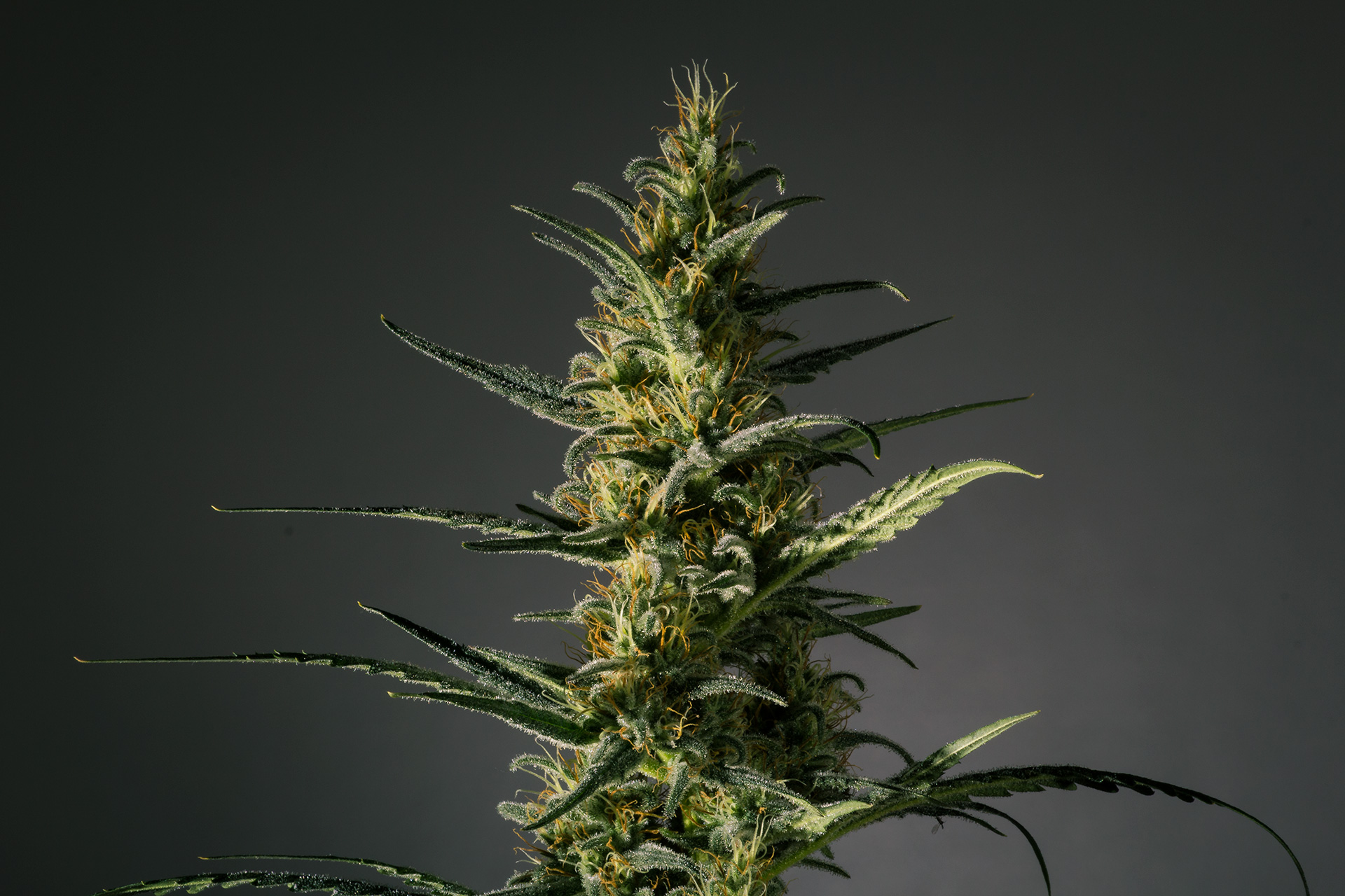 Candida (CD-1) Feminized Marijuana Seeds