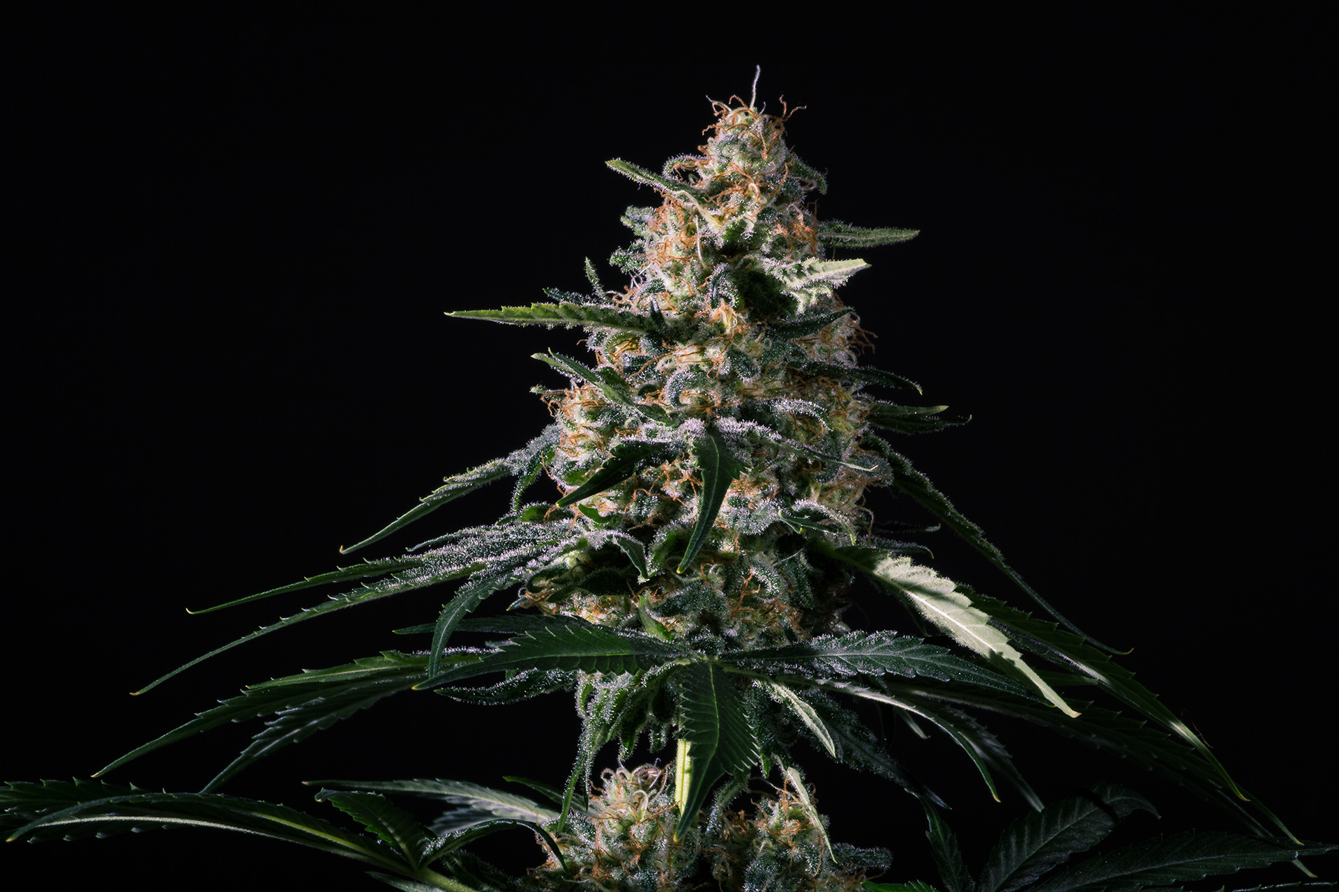 Nightingale (NN-1) Feminized Marijuana Seeds