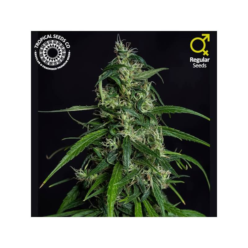 Tropical Seeds - Old Afghan NLD (Limited Edition)