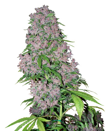 Purple Bud Feminized Marijuana Seeds