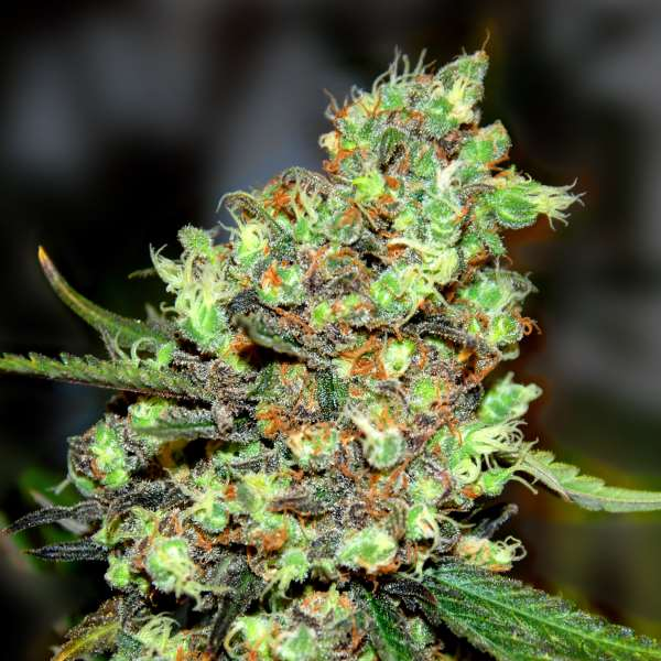 Skunk #1 Feminized Marijuana Seeds