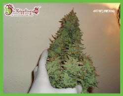 Smokin' Gun Auto Feminized Marijuana Seeds