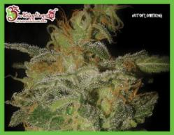 The Incredible Bulk Auto Feminized Marijuana Seeds