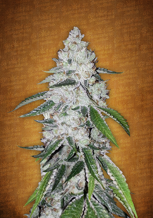 West Coast O.G. Autoflowering Feminized Marijuana Seeds