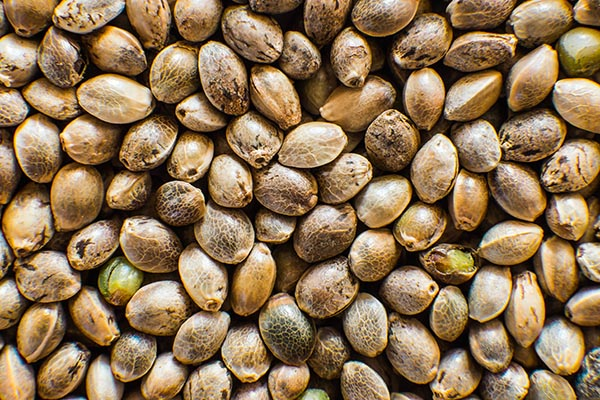 The Tiger One Guide to Cannabis Seeds
